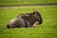 White-bearded wildebeest lying down on grassy plain