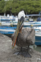Brauner Pelikan (Pelicanus Occidentalis urinator)