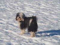 Tibetterier im Schnee, Hündin,