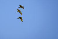 Flying Red-bellied Macaw, Orthopsittaca Manilata, Lagoa Das Araras, Bom Jardim, Nobres, Mato Grosso, Brazil