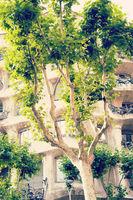 sycamore tree in Barcelona