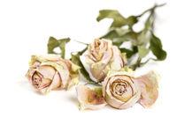 Drei vertrocknete Rosen auf weißem Hintergrund