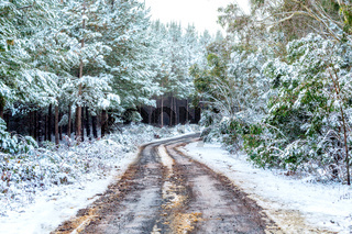 Car tracks carved through snow in pine forest