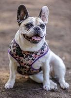 Pied French Bulldog Female Portrait.