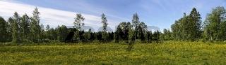 Panorama mit gelb blühender Wiese und einzelnen Birken in Südschweden im Sommer