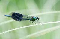 Calopteryx splendens_Libelle