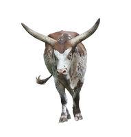 long horn bull