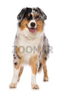Australian shepherd dog standing on white background