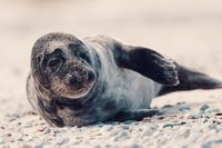 Young atlantic Harbor seal, Helgoland Germany