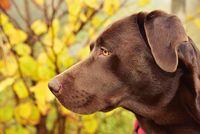 Schokoladenrauner Labrador Retriever Hundeportrait im Profil Show Linie