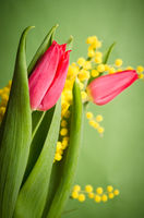 Spring bouquet with red tulip and mimosa