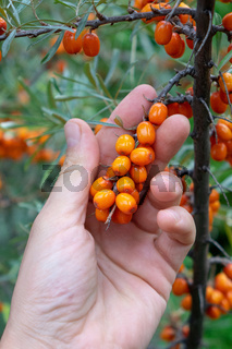 Branch with berries of sea-buckthorn in the garden. A man's hand holds berries