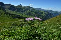 Akeleiblättrige Wiesenraute; Thalictrum aquilegiifolium, im Bregenzerwald bei Mellau auf der Kanisalpe;