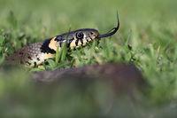 Grasschlange (Natrix natrix)