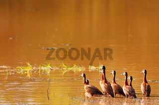 Gruppe von Witwenpfeifgaensen im Abendlicht, South Luangwa Nationalpark, Sambia, (Dendrocygna viduata)  | Group of white-faced whistling ducks in the evening light, South Luangwa National Park, Zambia, (Dendrocygna viduata)