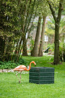 Caribbean flamingo getting food from a feeder