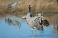 Common crane (Grus grus) spreading its wings. Gallocanta Lagoon Natural Reserve. Aragon. Spain.