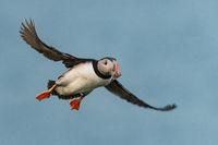 Papageitaucher im Flug auf Island