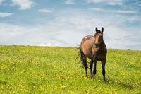 A horse on a green pasture with yellow flowers against a blue sky with clouds. Brown horse