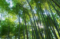 bamboo grove and sunshine