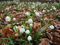 Märzenbecher, Frühlingsknotenblume, Leucojum vernum