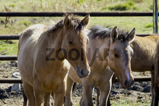 The horses are in the pen. Horses in a fenced space
