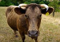 Kuh auf der Weide in Hohenlohe