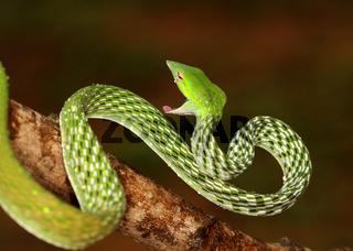 Green Vine Snake, Ahaetulla nasuta Agumbe, Karnataka, India.