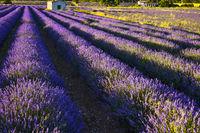 Lavendel Reihen von oben betrachtet