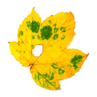 Autumn leaf with hole on white background
