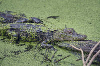 Young alligator on a log in Florida swamp