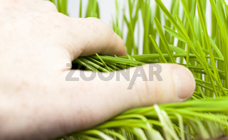 green young wheat