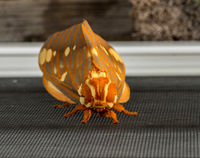 Large Regal Moth or Citheronia Regalis landed on the window screen