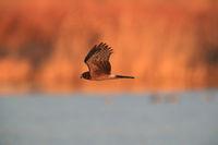Northern Harrier ,Hawk, Bosque del Apache,wildlife reserve , New Mexico,USA