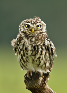 Little Owl perching on a post
