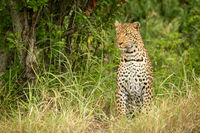 Leopard sits looking left in tall grass
