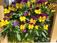 Blumenkuebel, Stiefmuetterchen