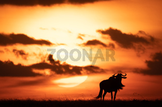 Blue wildebeest silhouetted against orange setting sun