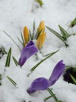Crocus first spring flowers