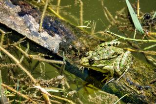 Caucasian parsley frog