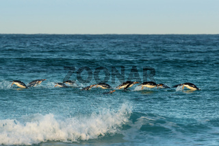 Group of Gentoo penguins diving in Atlantic ocean