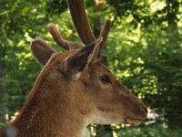 Close up of a deer