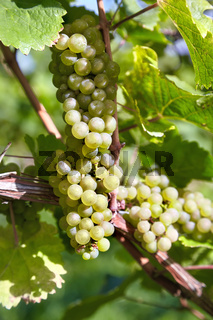 Sweet and tasty white grape bunches on the grapevine