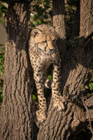 Cheetah cub stands in tree looking down