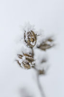 Pflanzendetail bei Raureif, Hibiscus