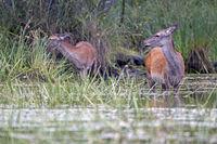Rottier und Kalb an einem Teichufer