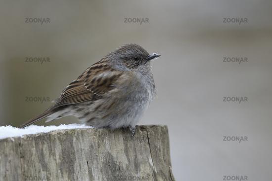 Standvogel oder Teilzieher... Heckenbraunelle *Prunella modularis* im Winter
