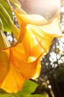 Angel trumpets - Brugmansia suaveolens