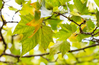 Leafs and details of a maple tree in autumn.