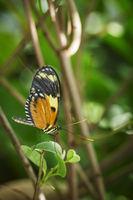 Heliconius melpomene Seitenansicht_Postman Butterfly